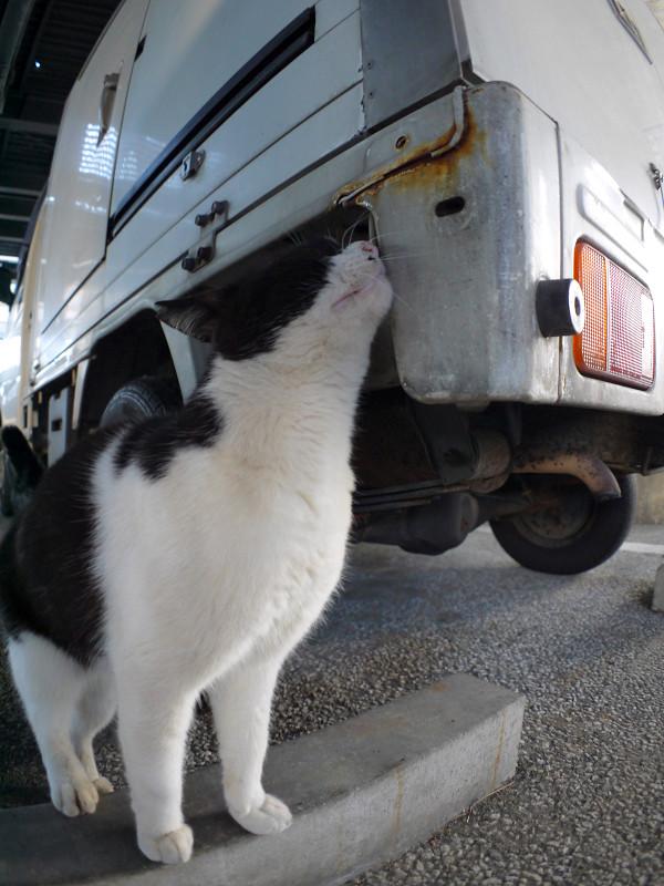 車のニオイを嗅ぐ黒白猫1