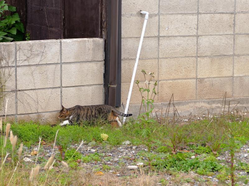 母猫の後を追うキジトラ猫1
