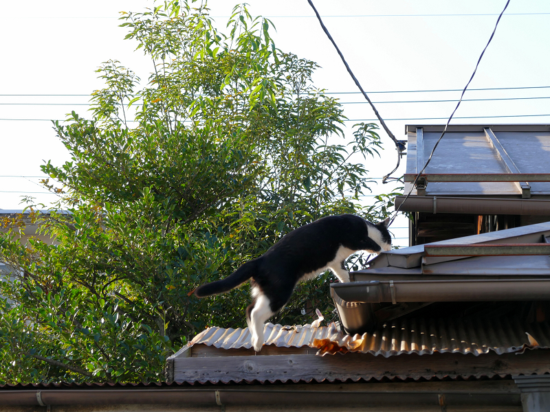 屋根に登った黒白猫2