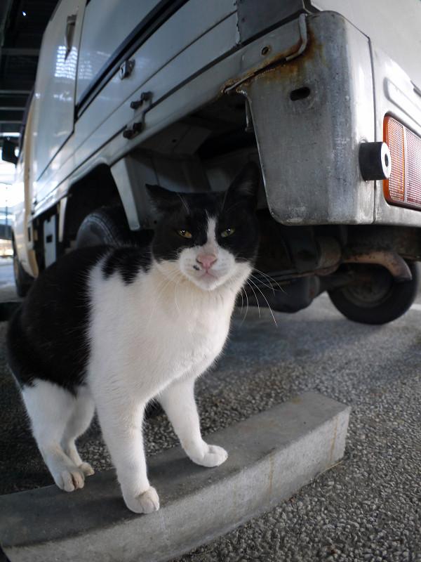 車のニオイを嗅ぐ黒白猫3