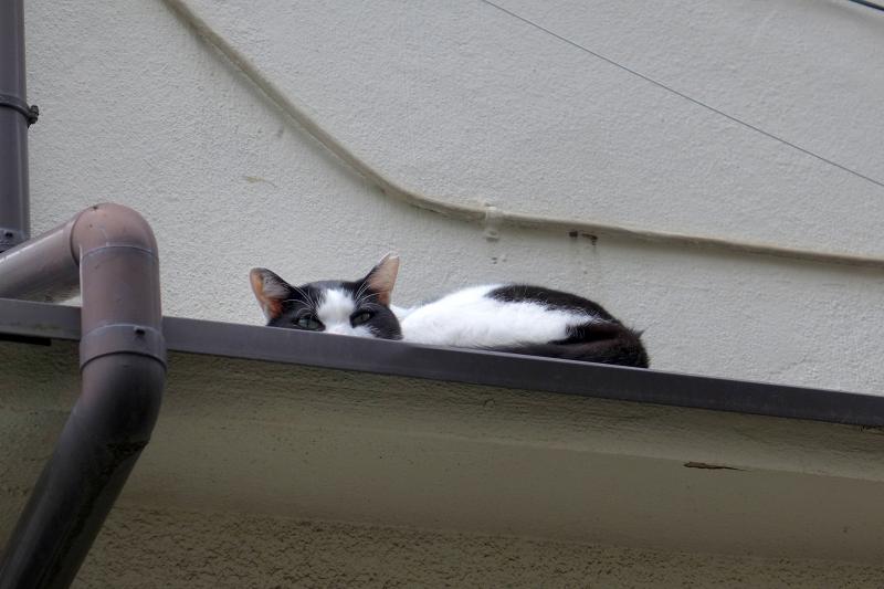 庇の上の黒白猫3