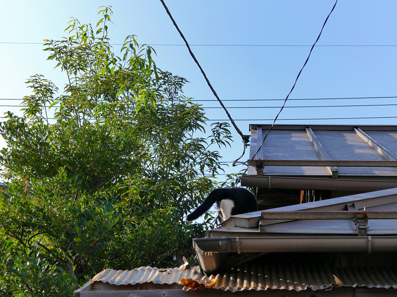 屋根に登った黒白猫3
