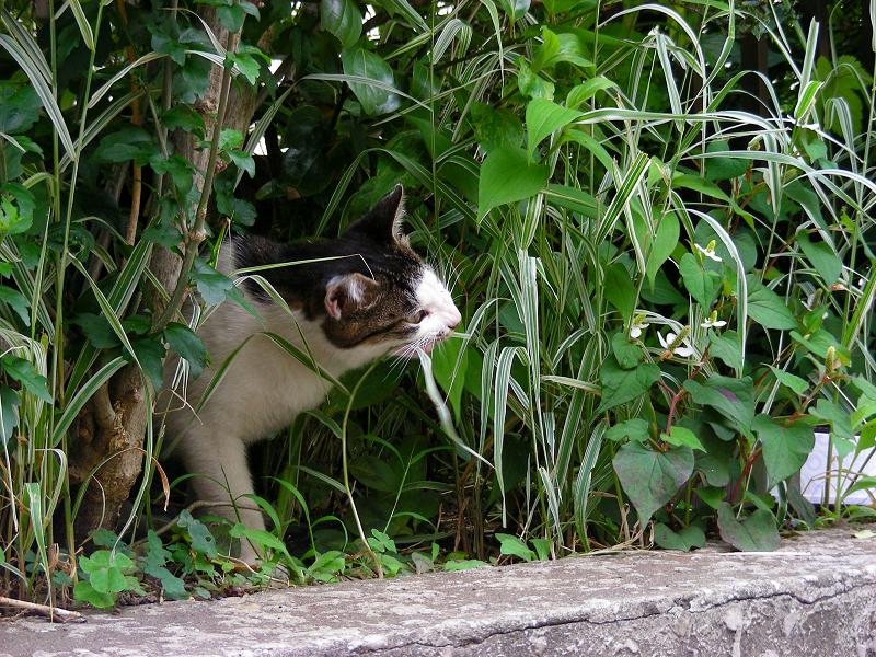 草を食うキジ白猫1