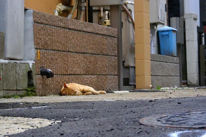 道端で熟睡してる茶トラ猫1