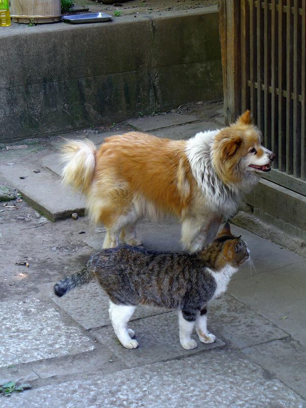 玄関先の茶白の犬とキジ白猫