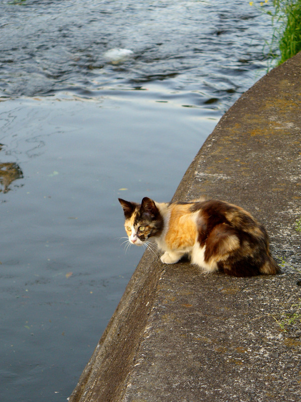 川を見つめていた三毛猫1