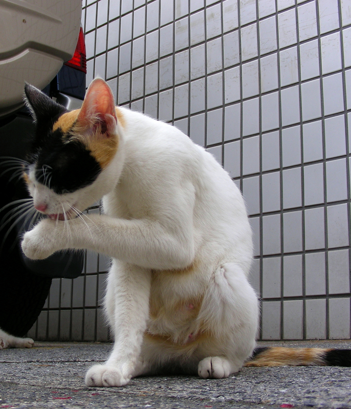 壁タイルと三毛猫2