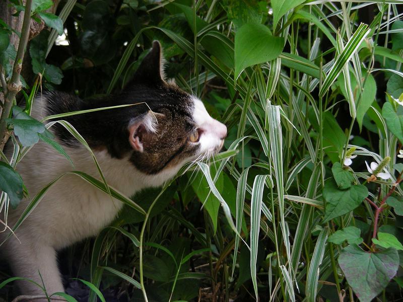 草を食うキジ白猫2
