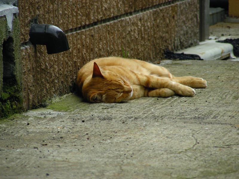 道端で熟睡してる茶トラ猫2