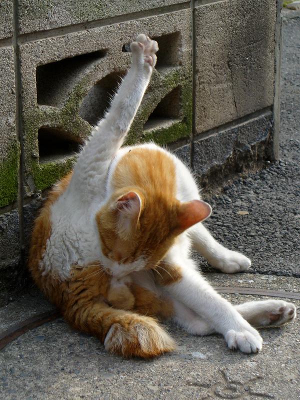 足を真っ直ぐに上げて毛繕いする茶白猫2