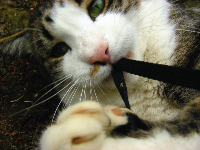 ストラップで遊ぶキジ白猫3