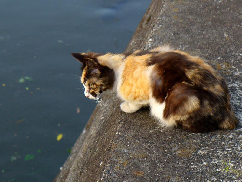 川を見つめていた三毛猫3