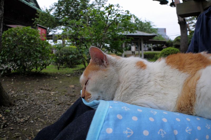 冷感シートで熟睡する白茶猫1