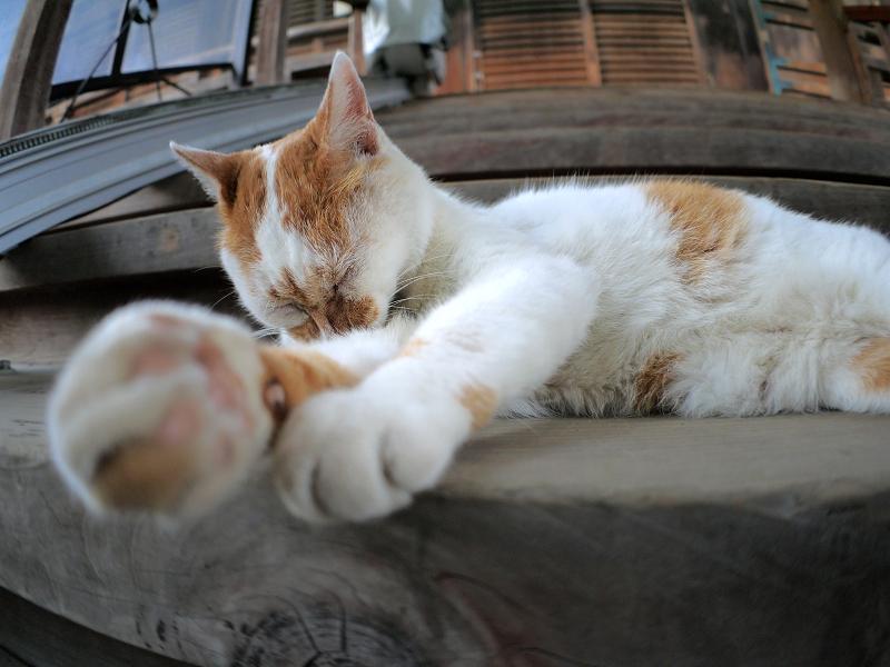 階段で毛づくろいする白茶猫1