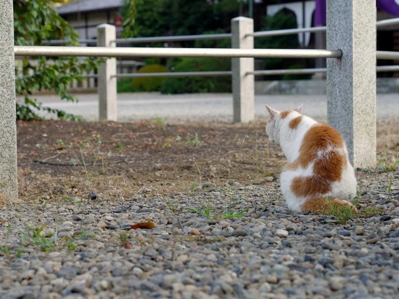 境内の白茶猫