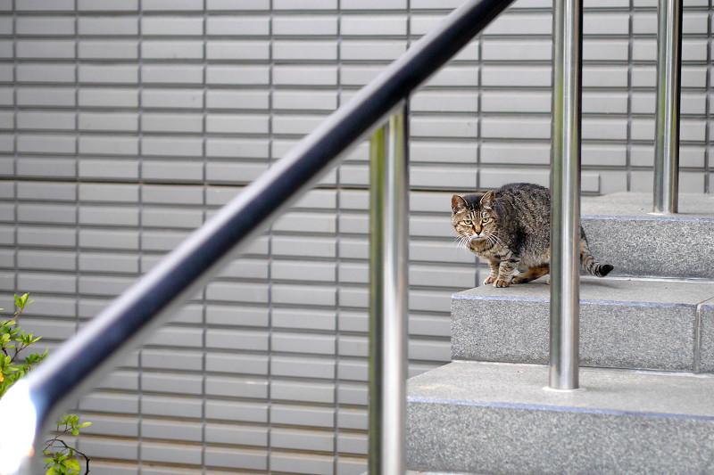 階段の端っこで睨んでるキジトラ猫1