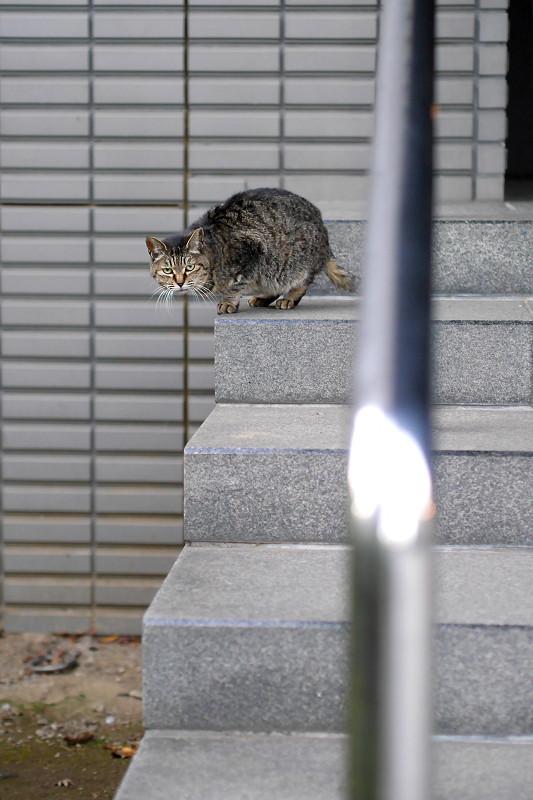 階段の端っこで睨んでるキジトラ猫2