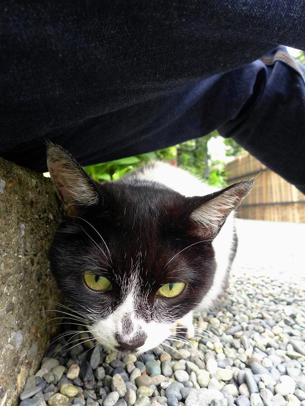 腿の下が好きな白黒猫