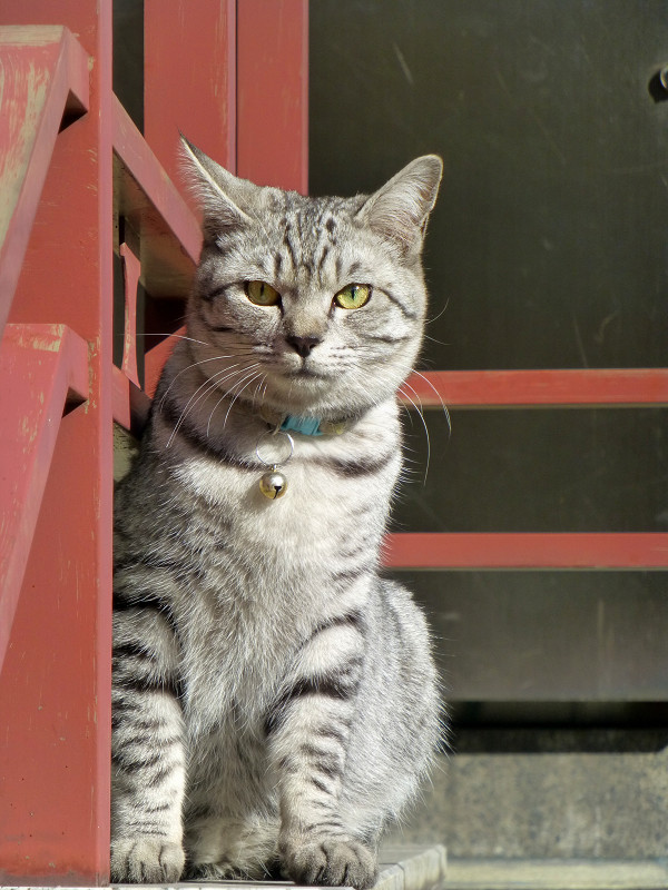 朱色手摺とサバトラ猫3