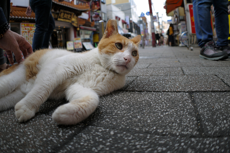 繁華街の茶白猫1