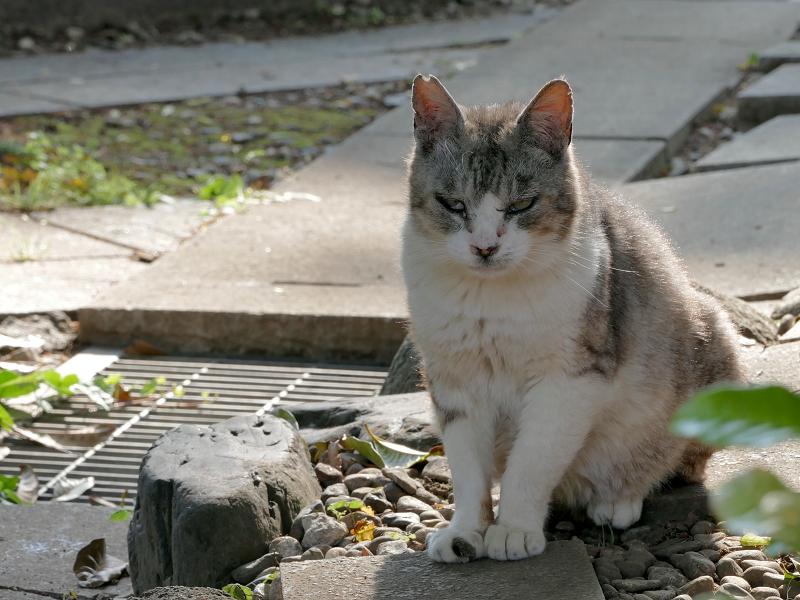 逆光の薄い三毛猫