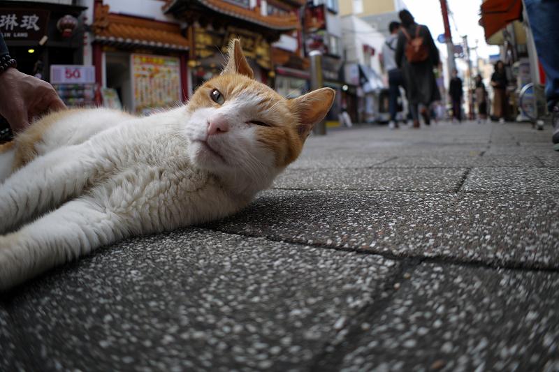 繁華街の茶白猫2