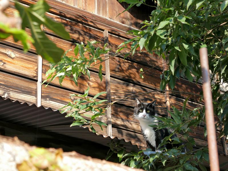屋根で止まった黒白猫1