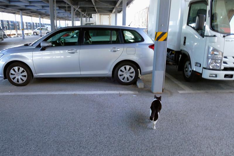 大きな駐車場を歩く黒白猫1