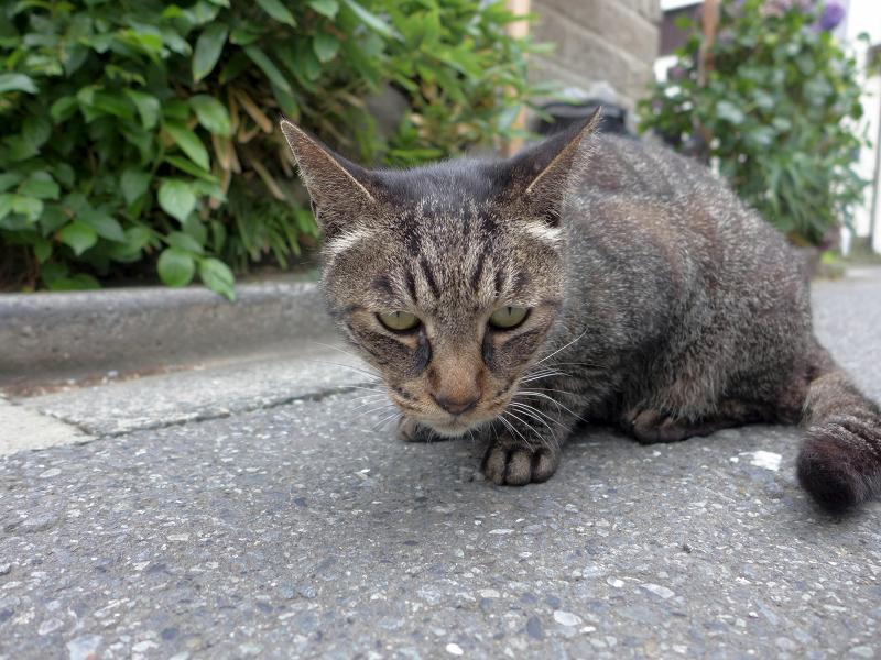 路地で出会ったキジトラ猫2