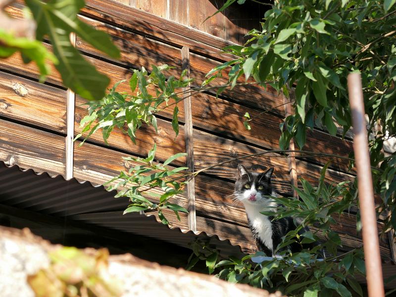 屋根で止まった黒白猫2