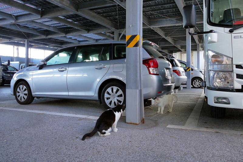 大きな駐車場を歩く黒白猫2