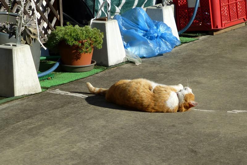 転がって伸びする茶白猫2