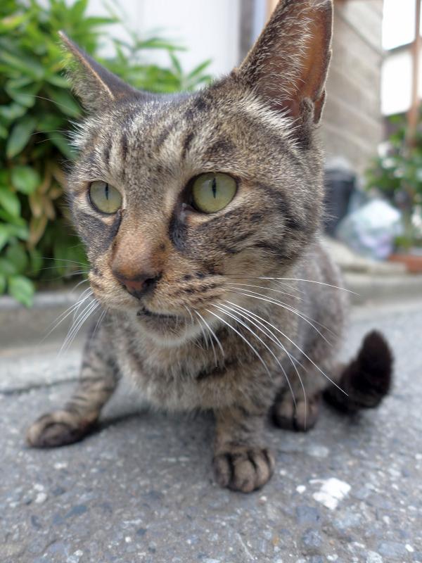 路地で出会ったキジトラ猫3