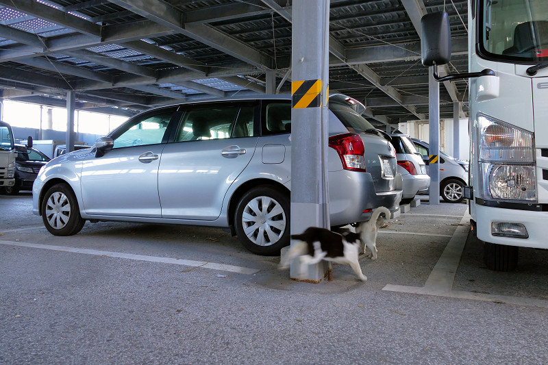 大きな駐車場を歩く黒白猫3