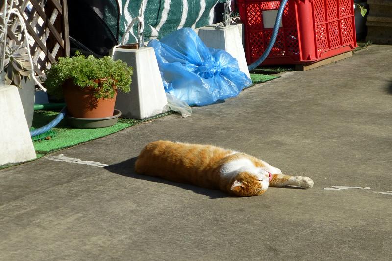 転がって伸びする茶白猫3