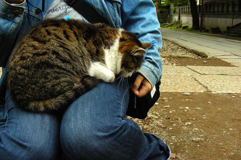 膝に乗った毛長のキジ白猫1