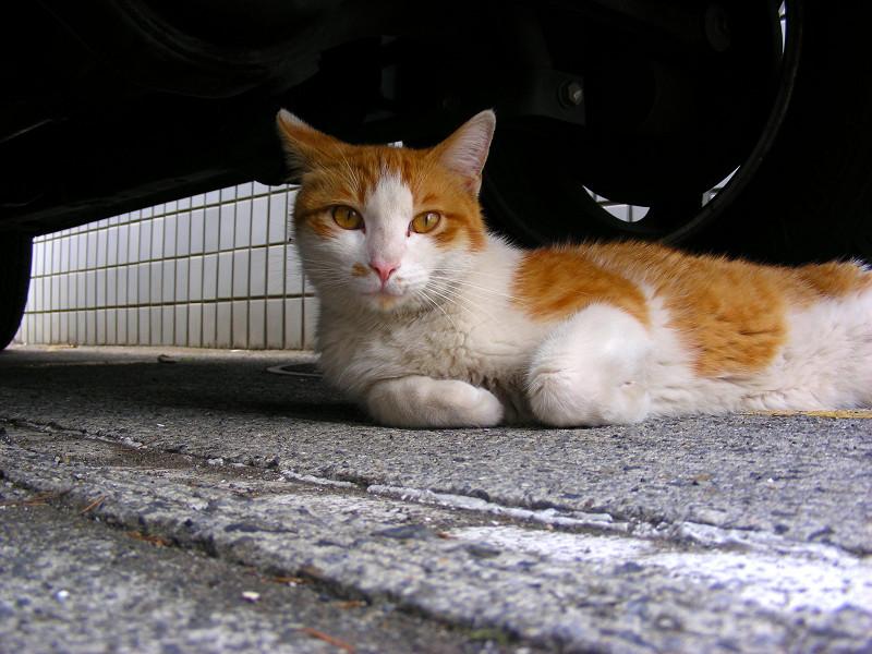車の下の茶白猫1