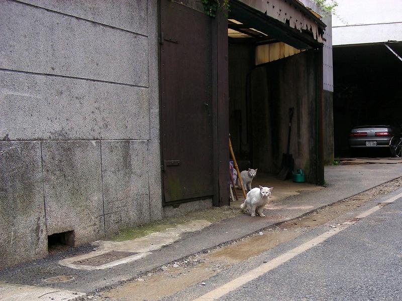 ガレージの白猫2匹1
