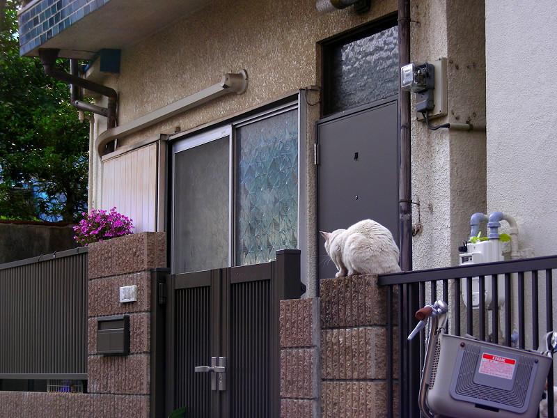 門扉の白猫1