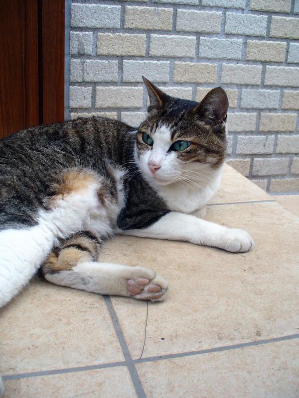 レンガブロック前のキジ白猫1