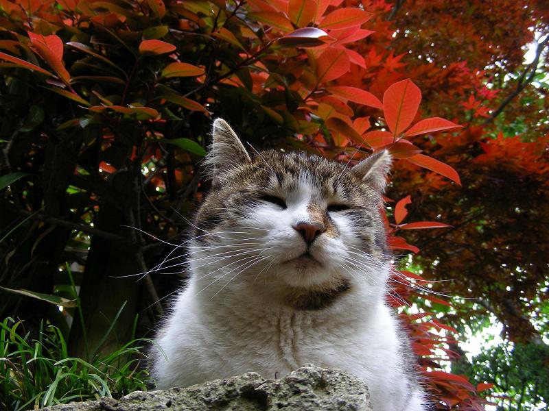赤い葉っぱの下のキジ白猫2