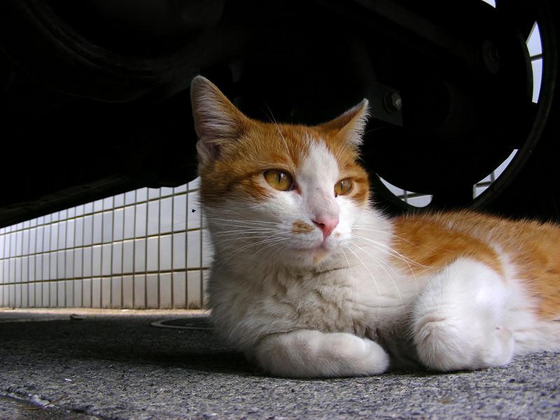 車の下の茶白猫2