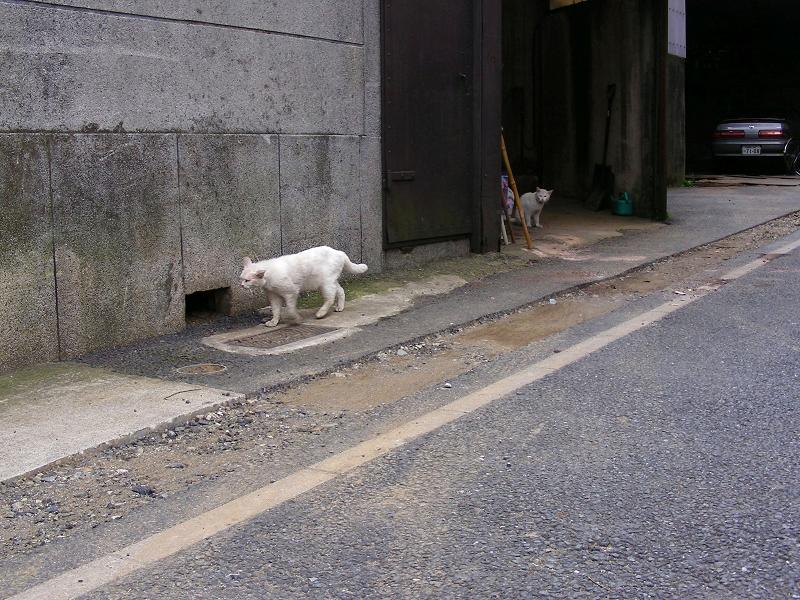 ガレージの白猫2匹2