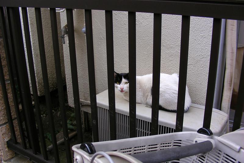 門扉の白猫と黒白猫2
