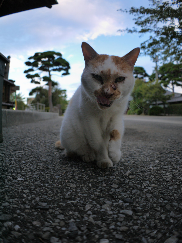 逆光の白茶猫