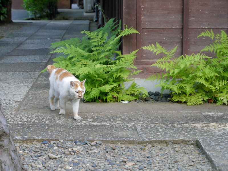歩み寄る白茶猫1