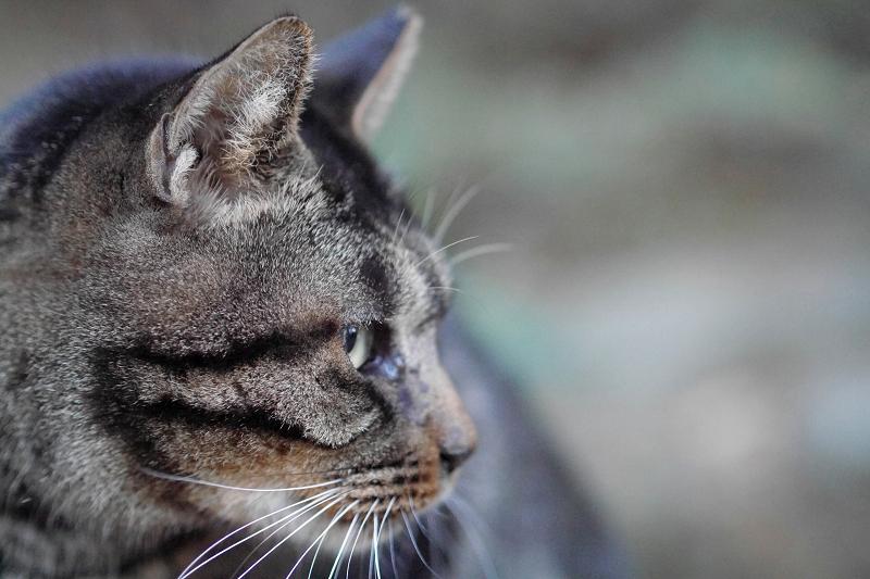 キジトラ猫の横顔1