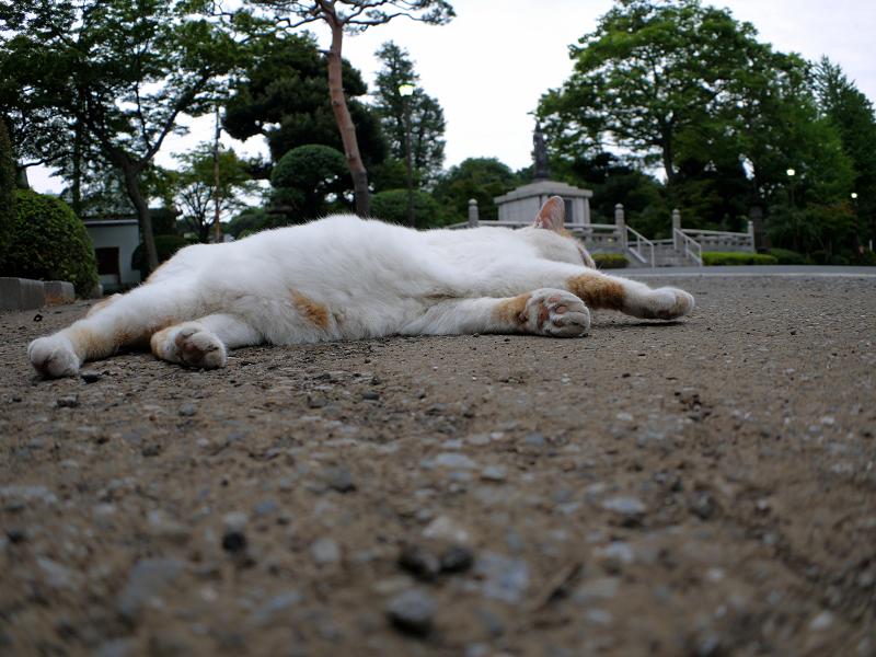 境内で寝転がる白茶猫2