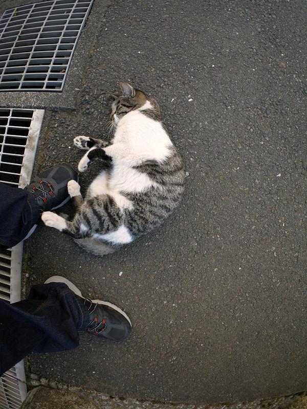 スニーカーに足をくっつけるキジ白猫2