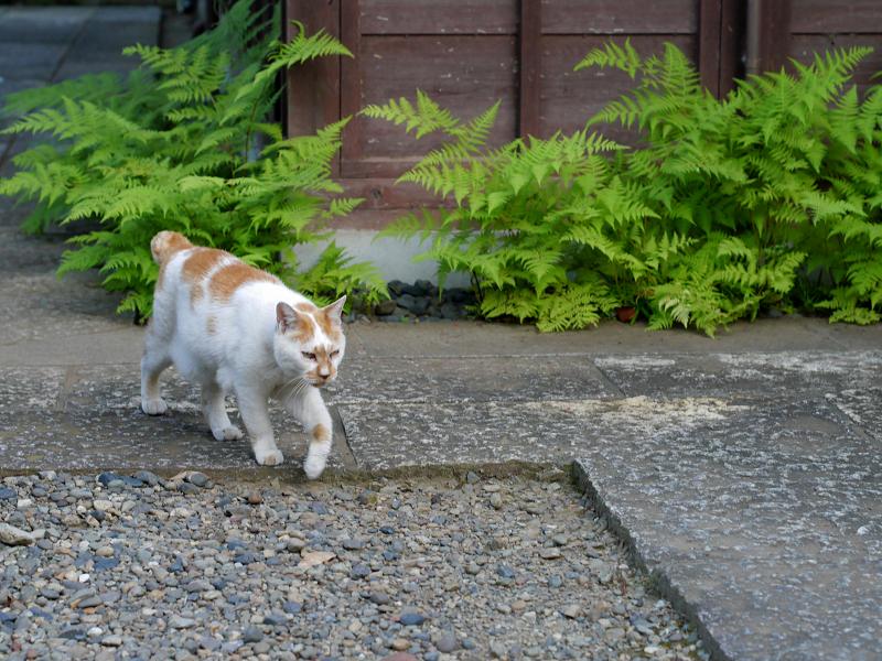 歩み寄る白茶猫2